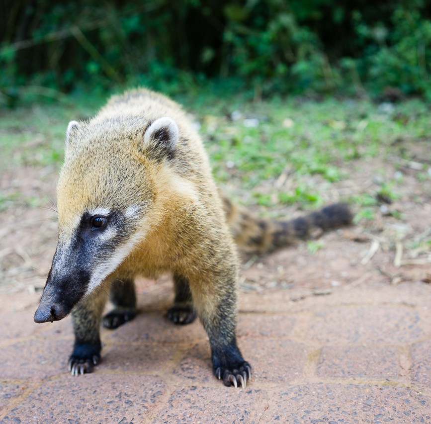A coati at iguazu falls